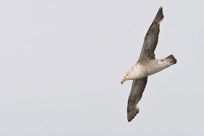 Northern Giant-petrel Photo