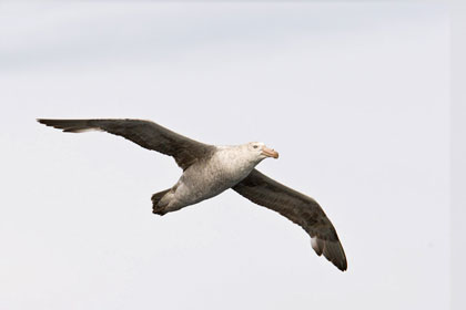 Northern Giant-petrel Image