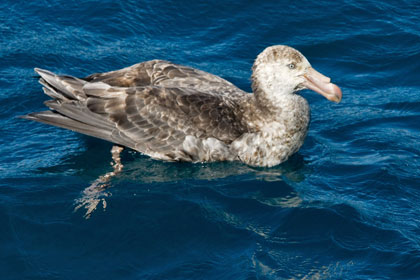 Northern Giant-petrel Picture @ Kiwifoto.com