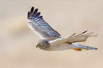 Northern Harrier Image @ Kiwifoto.com