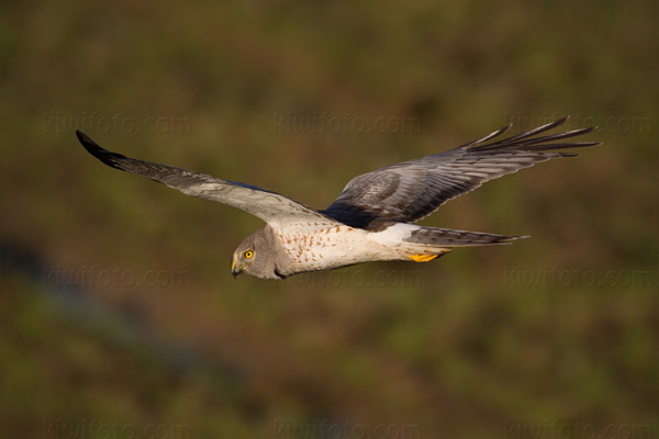 Northern Harrier Picture @ Kiwifoto.com