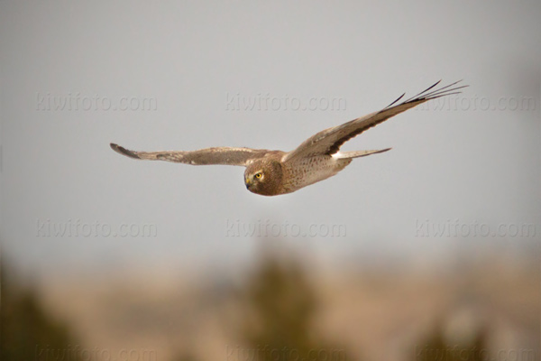 Northern Harrier Photo @ Kiwifoto.com
