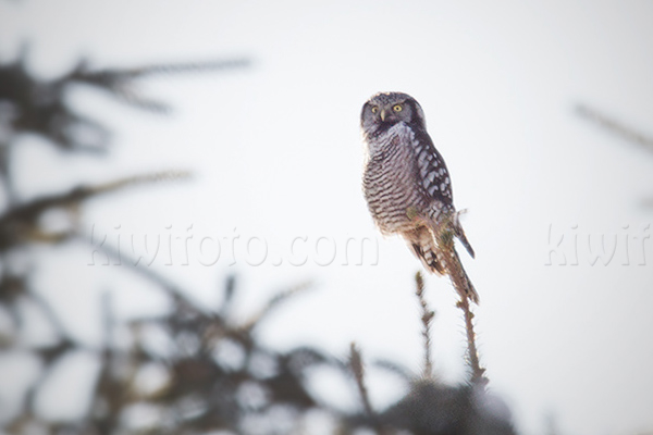 Northern Hawk-owl Picture @ Kiwifoto.com