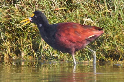 Northern Jacana Photo @ Kiwifoto.com