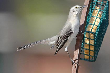 Northern Mockingbird Picture @ Kiwifoto.com