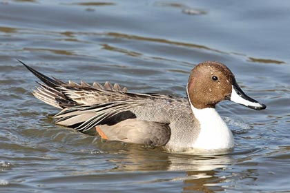 Northern Pintail Photo @ Kiwifoto.com