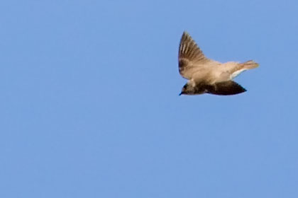 Northern Rough-winged Swallow Photo @ Kiwifoto.com