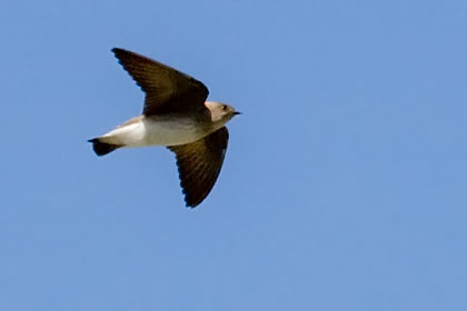 Northern Rough-winged Swallow Image @ Kiwifoto.com