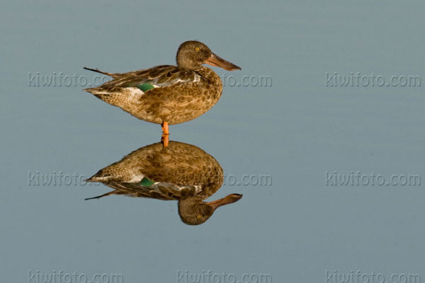 Northern Shoveler Photo @ Kiwifoto.com