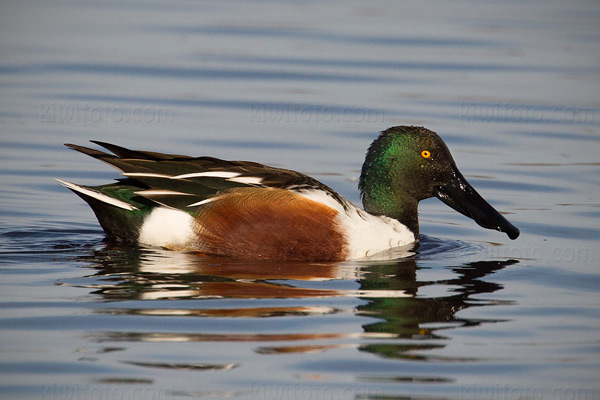 Northern Shoveler Picture @ Kiwifoto.com