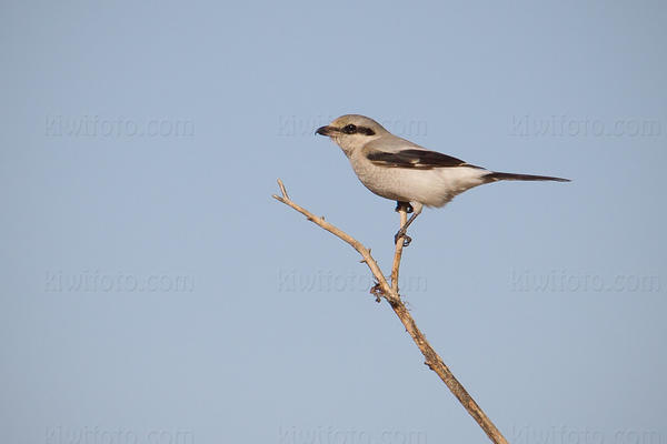 Northern Shrike Picture @ Kiwifoto.com