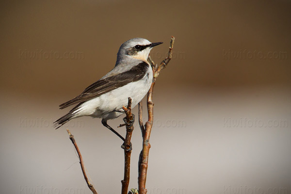 Northern Wheatear Picture @ Kiwifoto.com