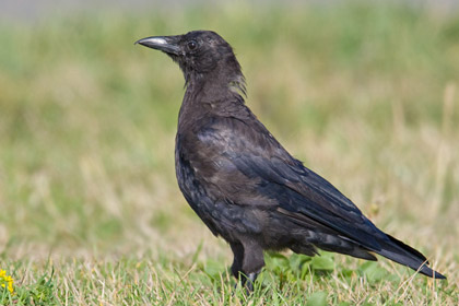 Northwestern Crow Photo @ Kiwifoto.com