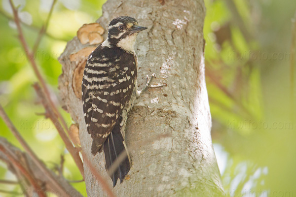 Nuttall's Woodpecker (adult female)