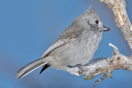 Oak Titmouse Photo @ Kiwifoto.com