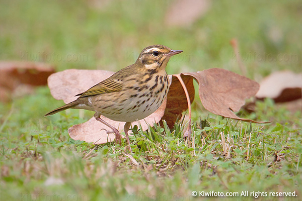 Olive-backed Pipit Photo @ Kiwifoto.com