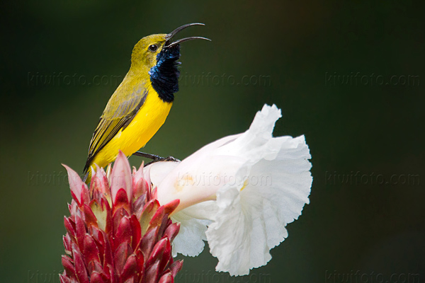Olive-backed Sunbird Picture @ Kiwifoto.com
