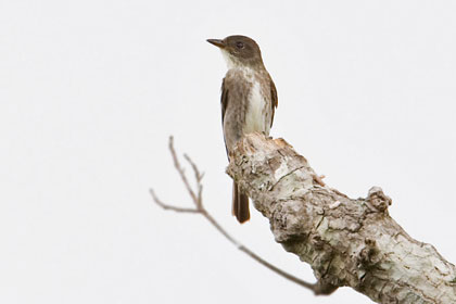 Olive-sided Flycatcher Picture