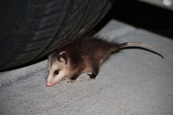 Opossum Photo @ Kiwifoto.com