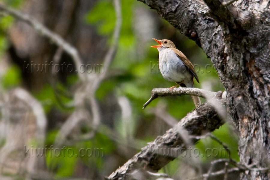 Orange-billed Nightingale-Thrush Picture