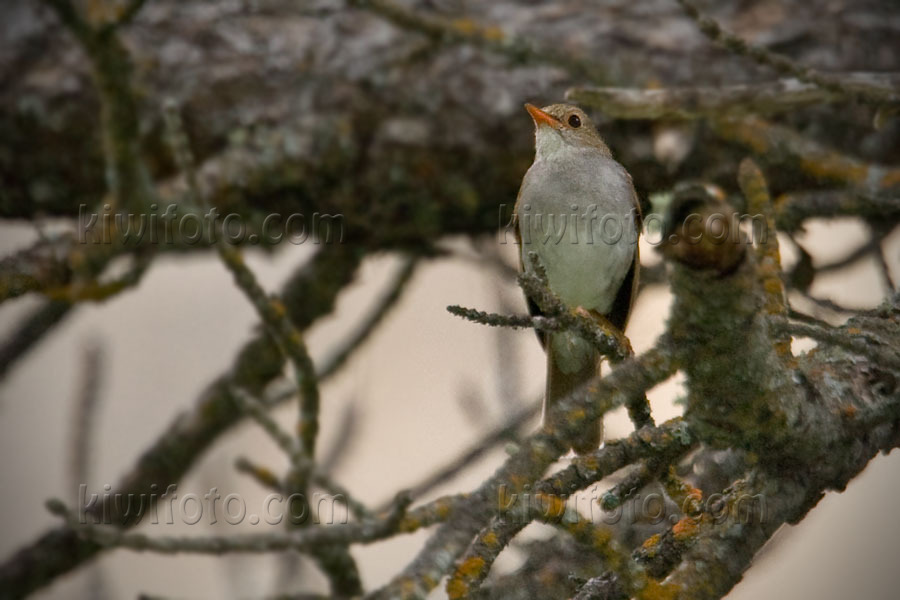 Orange-billed Nightingale-Thrush Image