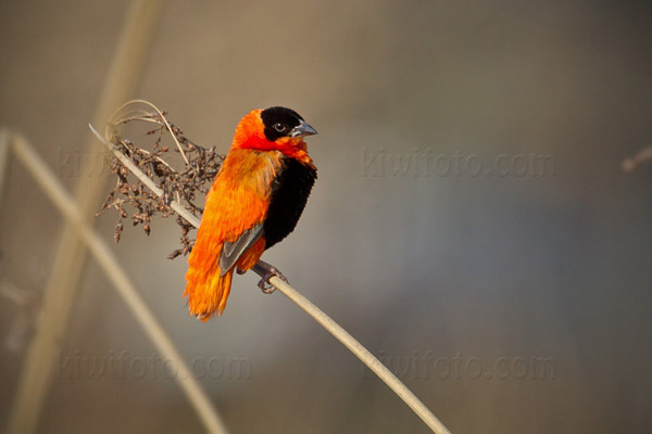 Orange Bishop Picture @ Kiwifoto.com