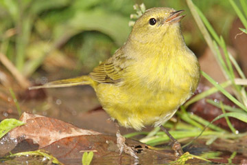 Orange-crowned Warbler Image