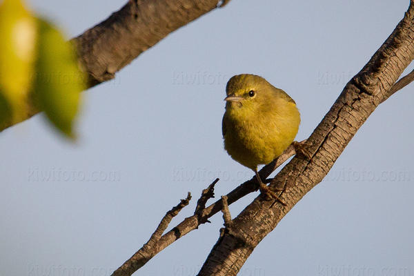 Orange-crowned Warbler Picture @ Kiwifoto.com