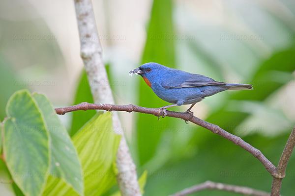 Orangequit @ Rocklands Bird Sanctuary, Montego Bay, Jamaica