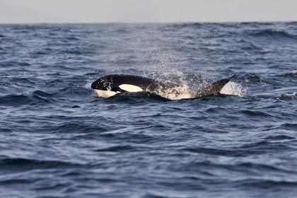 Orca (Killer Whale)  Photo @ Kiwifoto.com