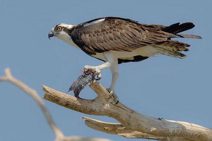Osprey Photo @ Kiwifoto.com