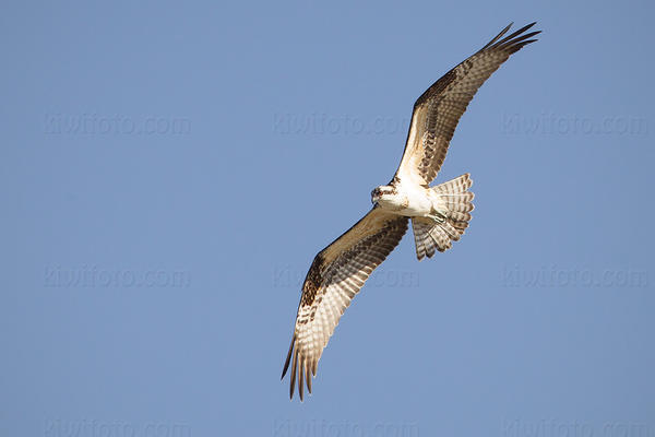 Osprey @ Ballona Creek, CA
