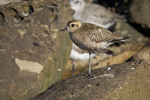 Pacific Golden-Plover Photo @ Kiwifoto.com