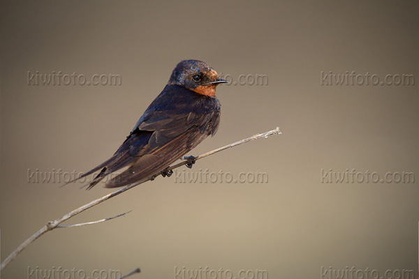 Pacific Swallow Picture @ Kiwifoto.com