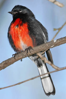 Painted Redstart Picture @ Kiwifoto.com