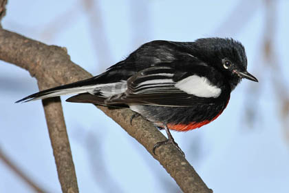 Painted Redstart Photo @ Kiwifoto.com