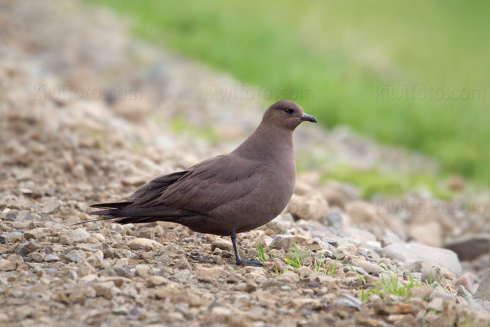 Parasitic Jaeger Photo @ Kiwifoto.com