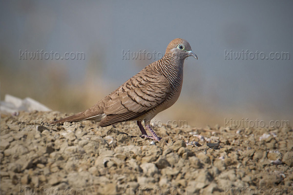 Peaceful Dove Photo @ Kiwifoto.com