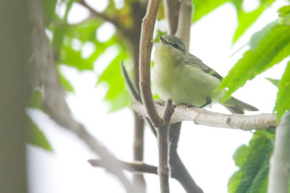 Philadelphia Vireo Photo @ Kiwifoto.com