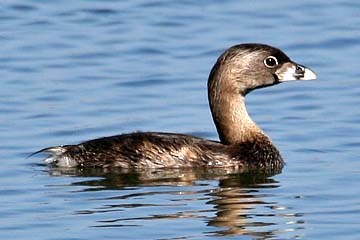 Pied-billed Grebe Photo @ Kiwifoto.com