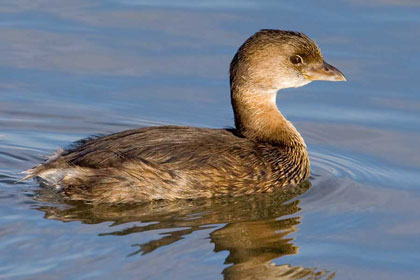 Pied-billed Grebe Picture @ Kiwifoto.com