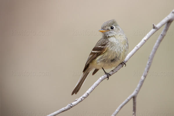 Pine Flycatcher @ Sawmill Canyon (Aliso Spring), Santa Rita Mtns, AZ
