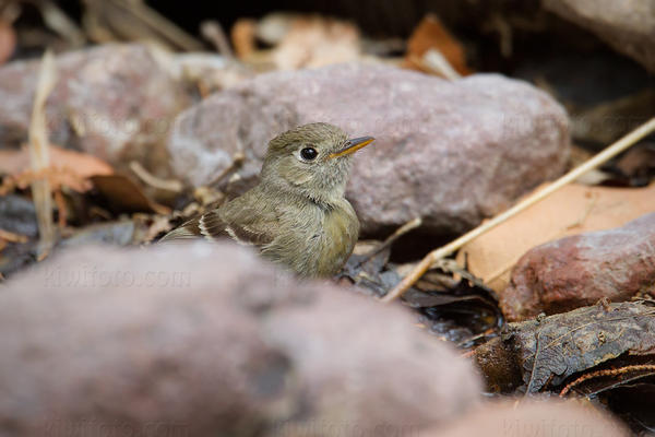 Pine Flycatcher Photo @ Kiwifoto.com