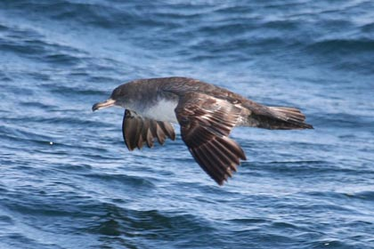 Pink-footed Shearwater Photo