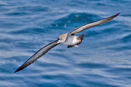 Pink-footed Shearwater Picture