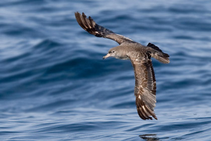Pink-footed Shearwater Image