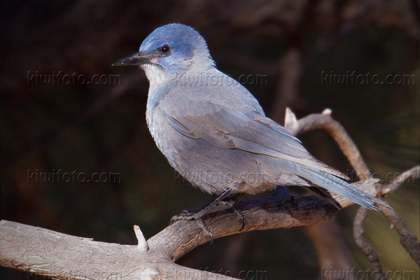 Pinyon Jay Photo @ Kiwifoto.com