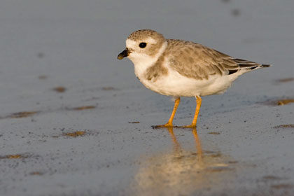 Piping Plover Image @ Kiwifoto.com