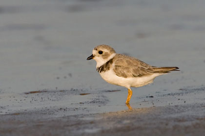 Piping Plover Picture @ Kiwifoto.com