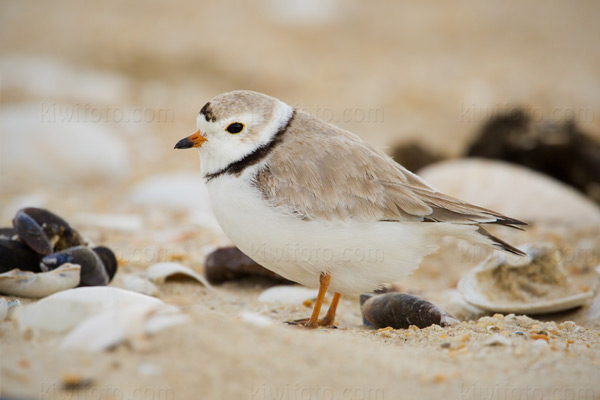 Piping Plover @ Sandy Hook, NJ